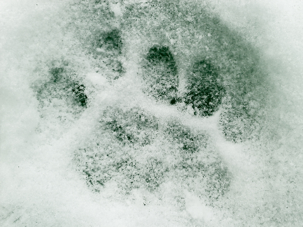 6-toed mountain lion paw print in the snow on the Estes Lake Trail