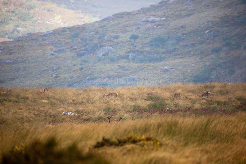 Red Deer stag and harem of hinds, Cervus elaphus, near Torc Mountain in Killarney National Park, Kerry, Ireland, during the annual rutting season. Native to Ireland since the last ice age, the red deer population dwindled to around 60 at the turn of the 20th century, but thanks to protection and management now number in the hundreds. During the rutting season, the stags gather around 5 hinds into a harem, and give out a loud, deep roar to challenge or ward off other males. Inexplicably, the red deer hinds are still hunted in Ireland, although it's illegal to hunt the stags in Kerry. Copyright 2011 Dave Walsh. All Rights Reserved.