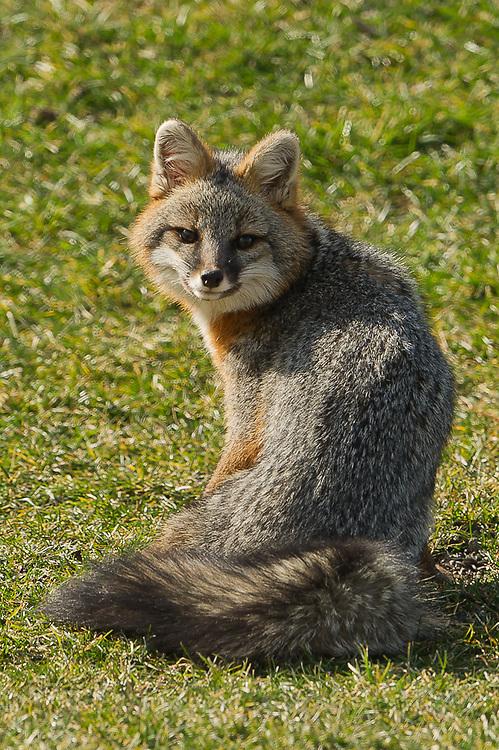 Gray Fox Syracuse NY Gray Fox in Camillus NY
