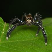 A jumping spider family Salticidae photographed in Kaeng Krachan National Kark, Thailand.