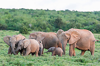 African Elephant calves cluster and greet a much smaller calf, Addo Elephant National Park, Eastern Cape, South Africa