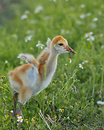 Sandhill crane downy chick stretches tiny wings, © 2014 David A. Ponton