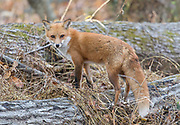 A Red fox walks stands on a fallen tree in a forest.