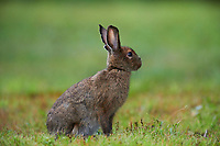 Snowshoe Hare (Lepus americanus) in summer coat, Cherry Hill, Nova Scotia, Canada