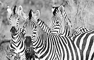 Zebras, Linyanti concession, Botswana