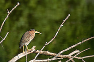 I watched this green heron as it made its rounds at this pond at Stewart Park in Ithaca, NY and it finally settled down on this tree branch.
