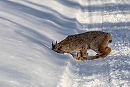 A Canada lynx sniffs the boot-print of the author, sticking it's whole head into the snow for a better whiff.