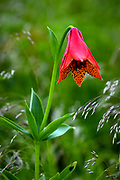 A Gray's Lily in bloom at Roan Mountain State Park in Tennessee.<br /> <br /> &copy; Photography by Kathy Kmonicek
