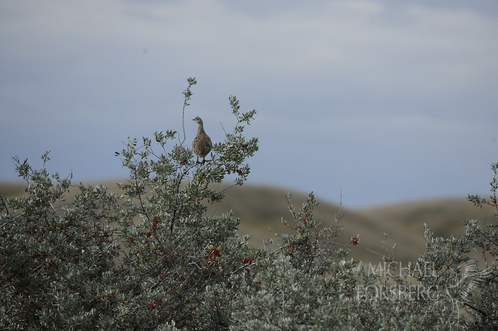 Grasslands National Park, Saskatchewan, Canada..Sharp-tailed grouse perches on buffaloberry along the banks of the Frenchman River.