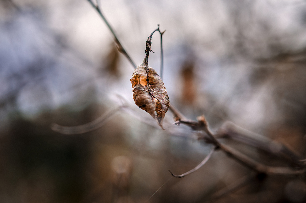 As the sun sets, a lone cocoon leaf hangs on a winter branch, at Camley Street Natural Park, in Kings Cross, London.