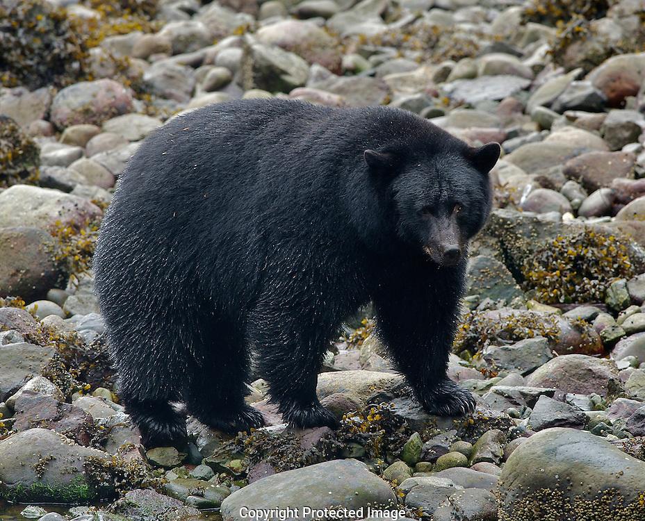 Black Bear. (Ursus americanus), Comox Valley, British Columbia, Canada, Isobel Springett