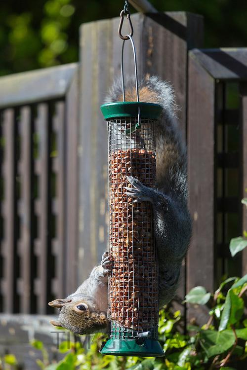 Grey Squirrel, Sciurus carolinensis, solves challenge hanging upside down while feeding on peanuts in a garden bird nut feeder
