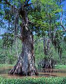 TREES: ANCIENT, GNARLY, LIFTING