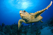 Loggerhead Sea Turtle, Caretta caretta, swims over a coral reef in Palm Beach County, Florida, United States