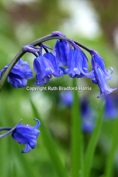 Native English bluebells (Hyacinthoides non-scripta) at the edge of Southrey Wood, Lincolnshire.<br />