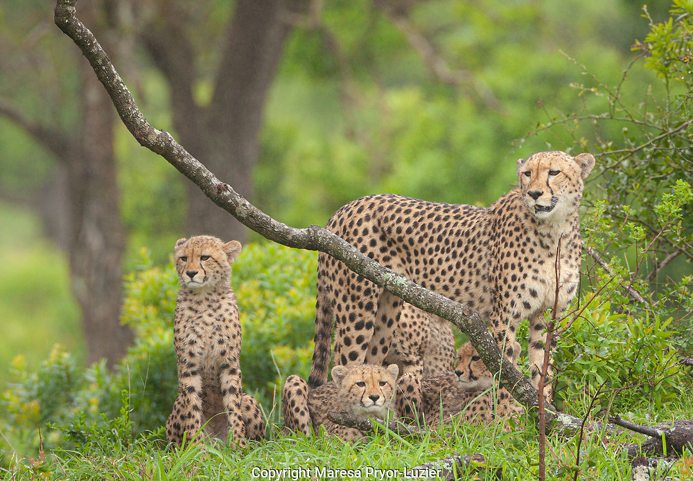 Cheetah family, Acinonyx jubatus, Huluhulwe Game Reserve, South Africa