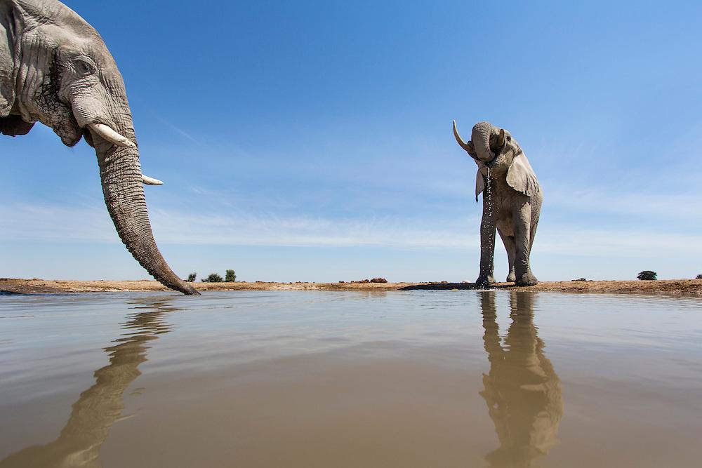 Africa, Botswana, Nxai Pan National Park, Remote camera view of Bull Elephants (Loxodonta africana) drinking at water hole in Kalahari Desert