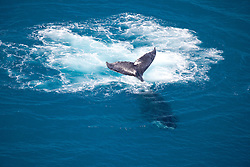 A humpback whale swims off Talboy's Rock near Broome.