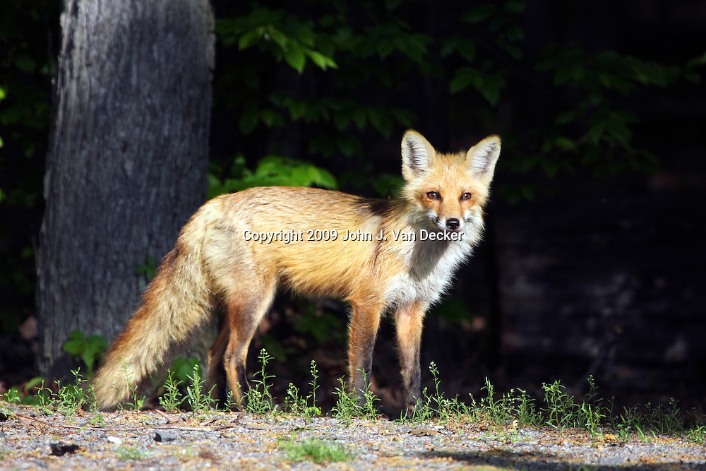Red Fox at the edge of a wood