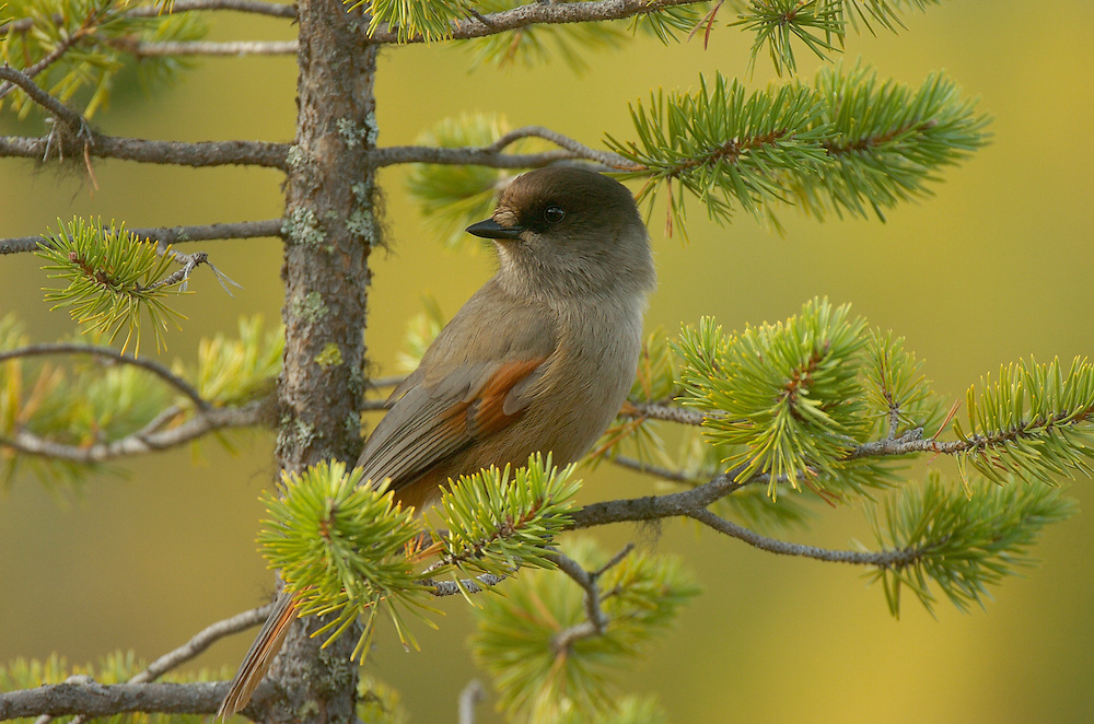 Siberian Jay, Perisoreus infaustus, in the boreal forest, virgin forest, Blaikfjallets nature reserve, Vasterbotten, Lapland, Sweden