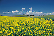 THIS PHOTO IS AVAILABLE FOR WEB DOWNLOAD ONLY. PLEASE CONTACT US FOR A LARGER PHOTO. Northern Idaho, North of Lewiston in the Yellow Canola field in the Palouse region.