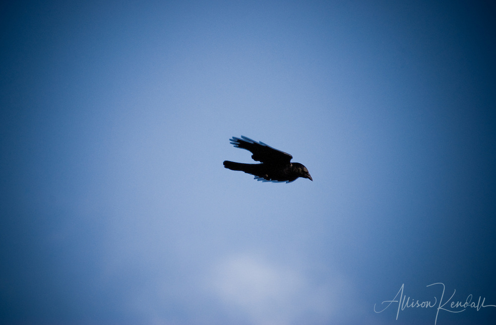 Wing tucked in a dive, a crow flies in profile across a vivid blue sky.