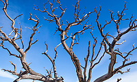An old dead tree seen against a deep blue sky, Canyonlands National Park, Utah, USA.