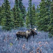 A juvenile moose roams the tundra of Denali National Park.