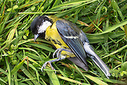 A lifeless dead Great Tit passerine adult bird, Parus major, Paridae, in the United Kingdom
