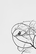 Black and white photo bird wall art. Ballona Wetlands, Marina Del Rey, CA. A small bird on tree branches. Matted print, limited edition. Photo chosen for the Visual Arts 2016 Student Show at UCLA Extension. Fine art photography print.