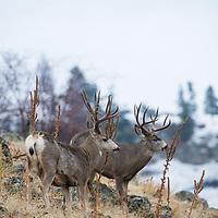 mule deer bucks rubbing antlers in habitat