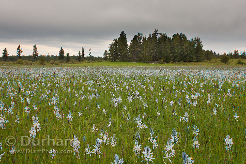 Camas flowers (Camassia quamash), On Weippe Prairie, Idaho. On September 20, 1805 the first members of Lewis and Clark's Corps of Discovery, including Clark himself, emerged starving and weak onto the Weippe Prairie. There they encountered the Nez Perce,