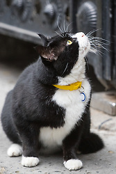 Downing Street, London, August 2nd 2016. Tensions appear to be ongoing in Downing Street as Larry the cat from No. 10 and Palmerston, newly resident at the Foreign Office continue their territorial feud. PICTURED: Palmerston is transfixed by a pigeon perched on the gates above him.