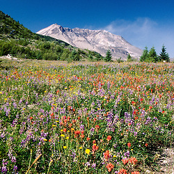 Mt. St. Helens and Common Red Paintbrush (Castilleja miniata), Broadleaf Lupine and Spotted Cat's Ear (Hypochaeris Radicata) Near Spirit Lake, Mt. St. Helens National Volcanic Monument, Washington, US, July 2004