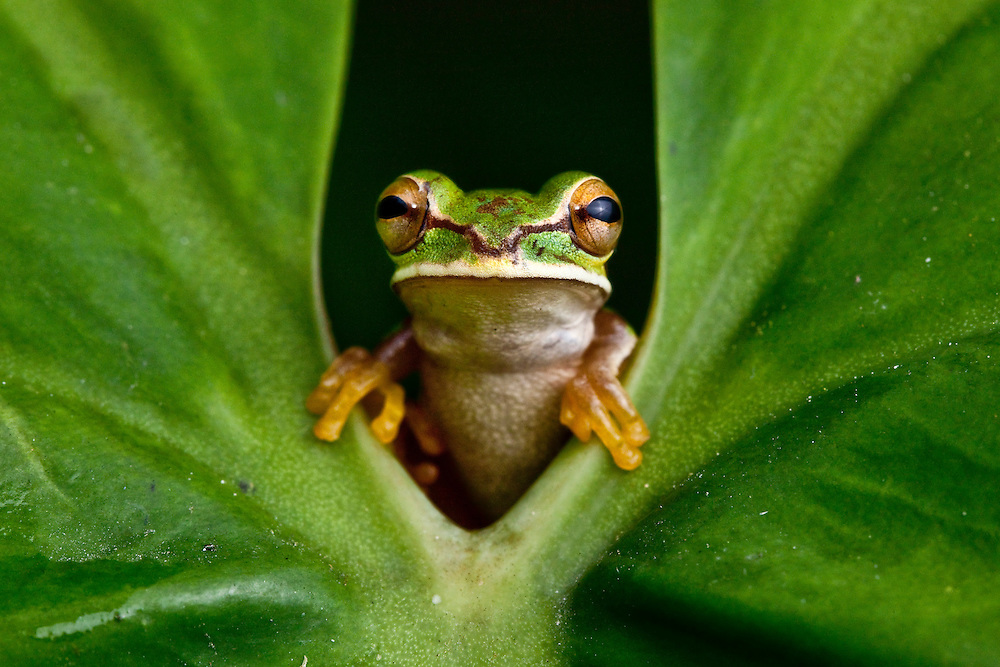 A Masked Treefrog, Smilisca phaeota, peers from behind a leaf in the Chocó.