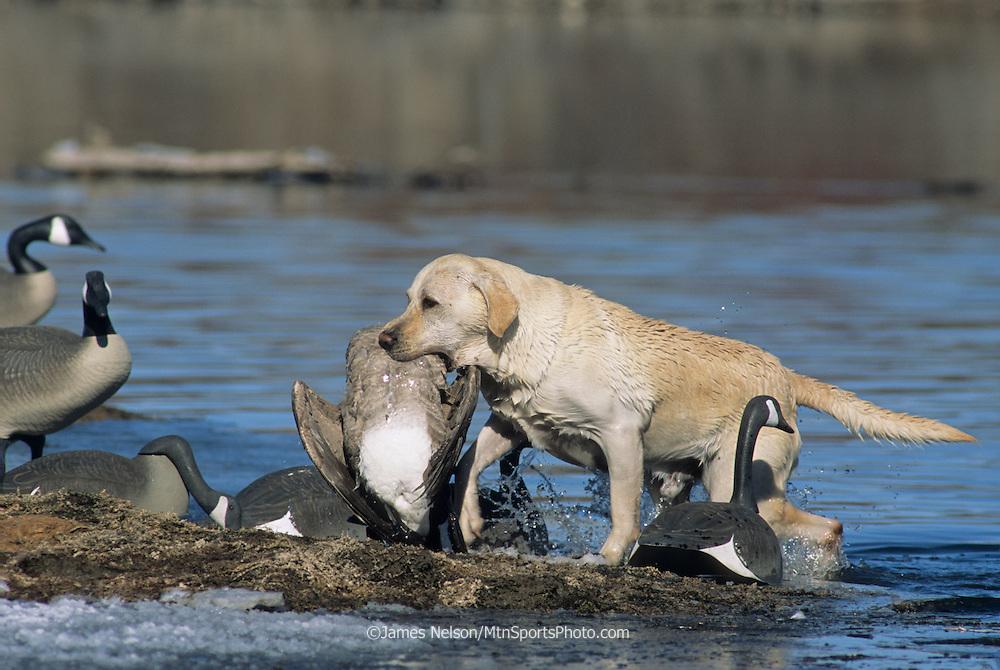 34-638. A yellow Labrador retriever brings a Canada goose to the blind on the Snake River, Idaho.