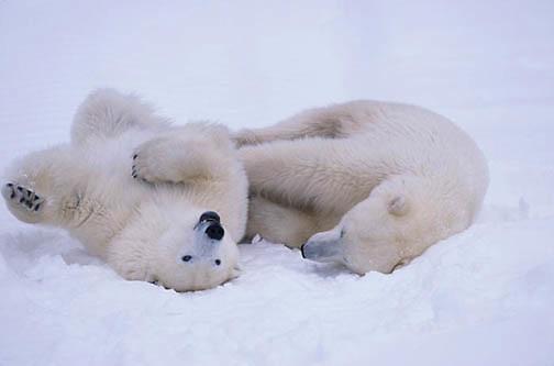 Polar Bear, (Ursus maritimus) Pair playing. Churchill, Manitoba. Canada.