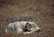 Grey Wolf, Wolf, Denali National Park, Alaska