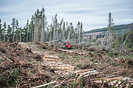 A red forest harvester works, felling trees in a confer forest near Inverness in Scotland.