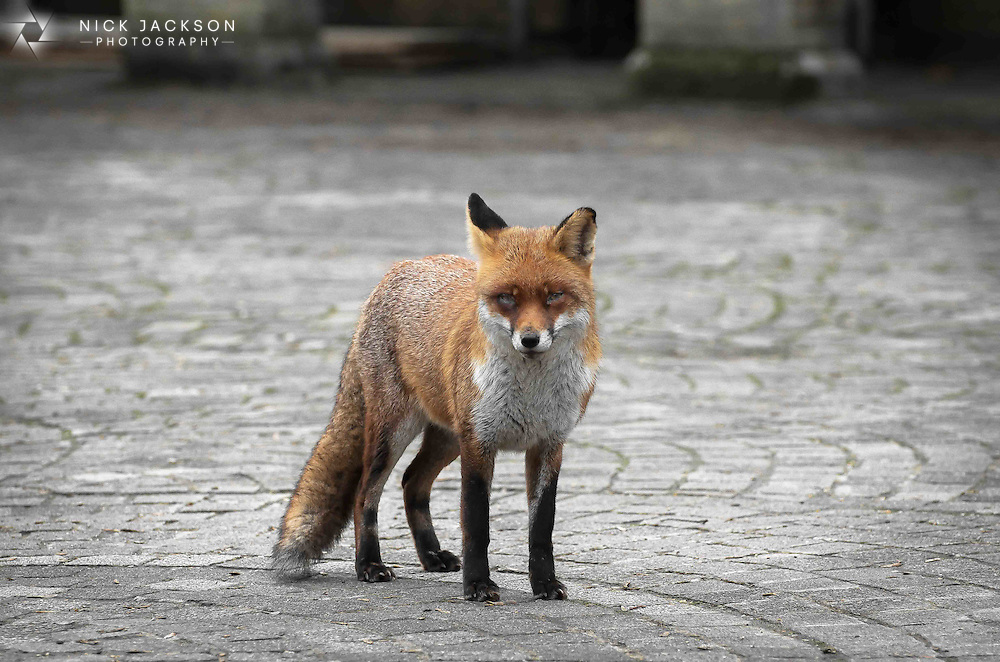 Possibly the least nervous fox I've ever encountered and out and about in broad daylight too. This bold fox stood and watched as I took photos of him for a few minutes.