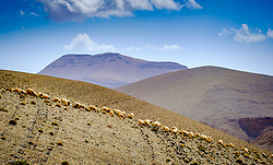A flock of sheep graze the hills beside the piste from Tamtetoucht to Msemrir, Morocco<br /> <br /> (c) Andrew Wilson | Edinburgh Elite media
