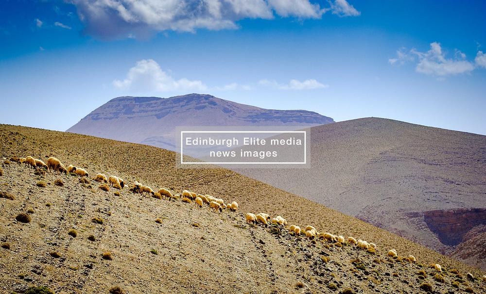 A flock of sheep graze the hills beside the piste from Tamtetoucht to Msemrir, Morocco<br /> <br /> (c) Andrew Wilson   Edinburgh Elite media