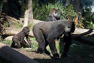 A mother gorilla walks with its offspring at the San Diego Zoo
