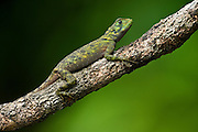 Tropidurus Lizard (Plica Sp)<br /> Rain Forest<br /> Iwokrama Reserve<br /> GUYANA<br /> South America<br /> RANGE: Central America & Northern South America