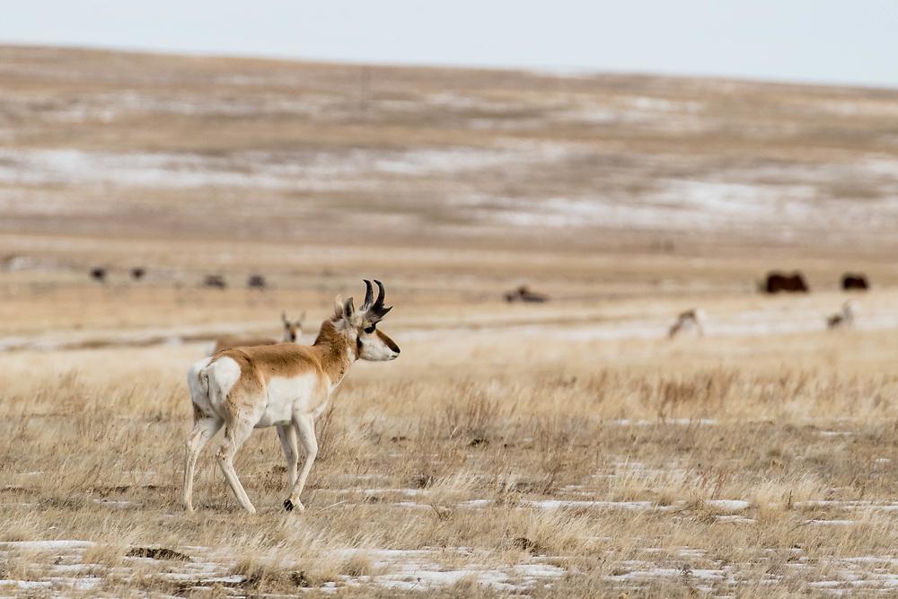Pronghorns in South Dakota on Wednesday, Feb. 7, 2018.