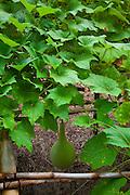 Ipu, gourd, Lagenaria siceraria, Maui Nui Botanical Gardens, Kahului, Maui, Hawaii
