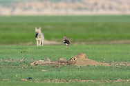 As a coyote looks on, Burrowing owls attack an American badger to drive it away from their nest site in the Badlands of South Dakota.