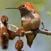 Male rufous Hummingbird near Revelstoke, British Columbia