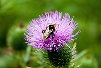 Close-up of a bee collecting pollen on a thistle.