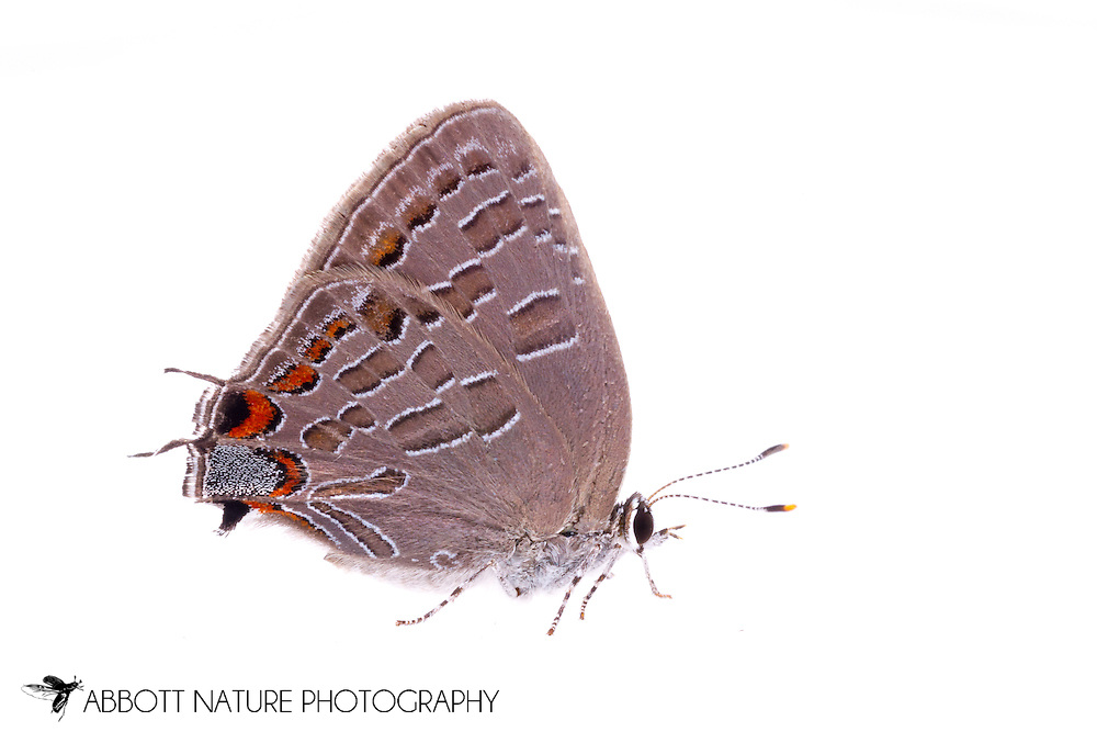 Striped Hairstreak (Satyrium liparops)<br /> TEXAS: Jasper Co.<br /> Brookeland/Lake Sam Rayburn KOA @ 505 Co Rd 212<br /> 31.141606, -93.994174<br /> 21.May.2015<br /> J.C. Abbott #2733 &amp; K.K. Abbott